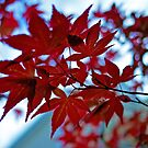 Red Leaves Backlit by Alisdair Binning