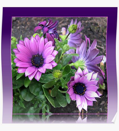 Pretty in Pink and Purple Cape Daisies Poster