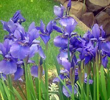 """""""Iris"""" by Kathryn Page"""