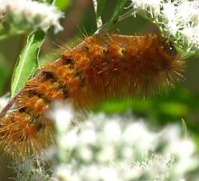 Virginia Tiger Moth Caterpiller on Late Blooming Boneset by Ron Russell