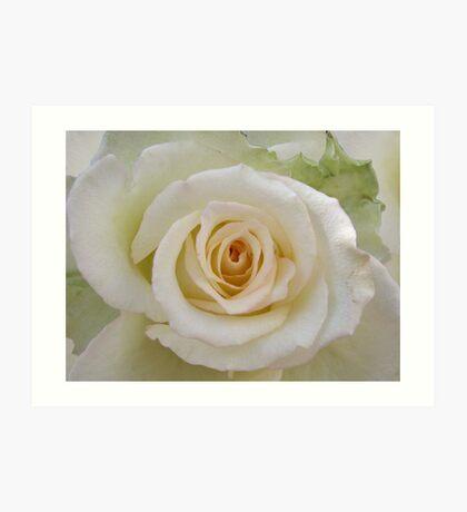 White rose with a peachy heart Art Print