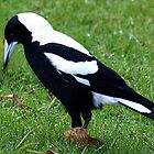 White Backed Magpie - Drouin Victoria by Bev Pascoe