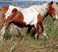 """Painted Beauty"" Wild Horse, Assateague Island by Sandy (O'Toole) Fazenbaker"