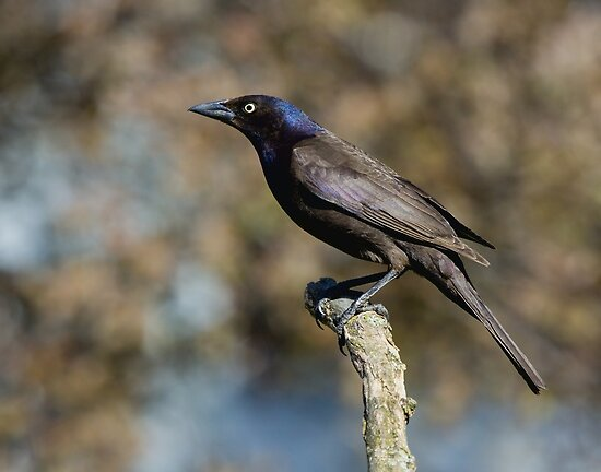 Common Grackle by Wayne Wood