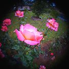 Fisheye Roses by the57man