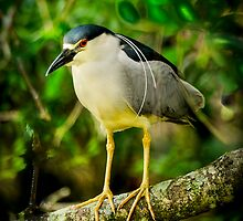 Black Crowned Night Heron by Joe Jennelle