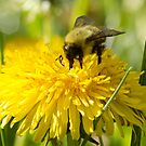 The Dandelion and the Bumblebee by Megan Noble
