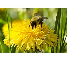 The Dandelion and the Bumblebee Photographic Print