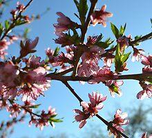 Peach Blossom by Benjamin Shurtleff