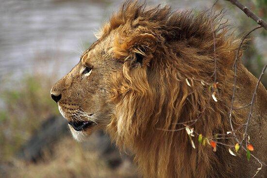 Profile Portrait, Large Male Lion #2, Maasai Mara, Kenya  by Carole-Anne