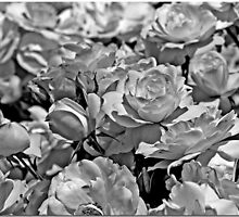 Roses: B&W by Chet  King