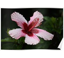 Hibiscus in the Rain Poster