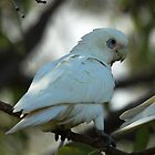 Little Corella by Tim Harper