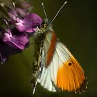 Orange Tip male by KWTImages