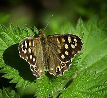 Spotted Wood Butterfly by KWTImages