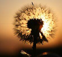 dandelion against sunset by Medeu