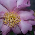Pale pink camellia by 3Cavaliers