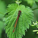 Small Red Damselfly by relayer51