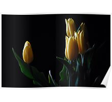 Yellow tulip in black background  Poster