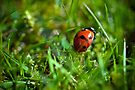 Ladybird in the grass by abinning