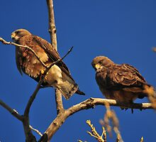 A Pair of Montana Hawks Donna Ridgway Photographer by Donna Ridgway