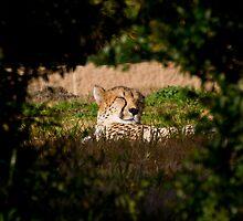 Cheetah Basking by corsefoto