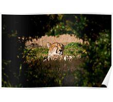 Cheetah Basking Poster