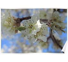White Blossoms of an Ornamental Pear Tree Poster
