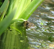 Frog in a pond by RKLazenby