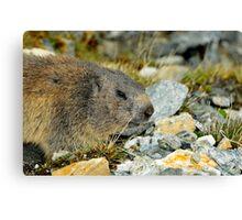 Wild Marmot Canvas Print