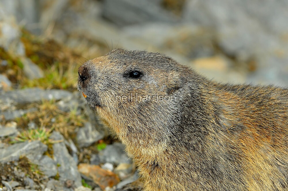 Wild marmot by neil harrison