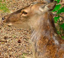 red deer by Steve
