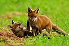 Playing Fox Cubs by Neil Bygrave (NATURELENS)