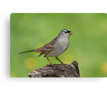 White-crowned Sparrow posing pretty. Canvas Print