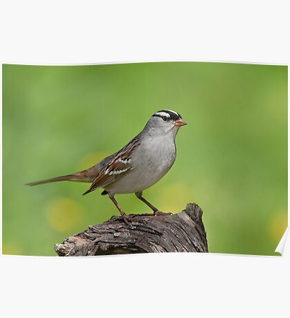 White-crowned Sparrow posing pretty. Poster