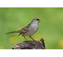 White-crowned Sparrow posing pretty. Photographic Print