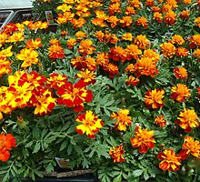 marigolds by mimimay