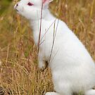 White Wabbit by Randall Ingalls