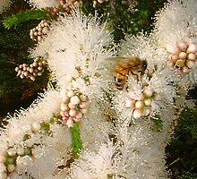 Bee On a Wattle by Robert Phillips