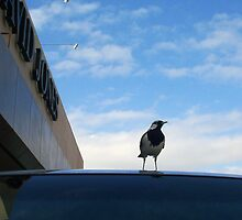 Bird On A Car by Robert Phillips