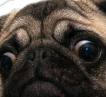 Worried Pug Sticker