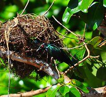 Metallic Starling (Aplonis metallica) by Geoff Beck