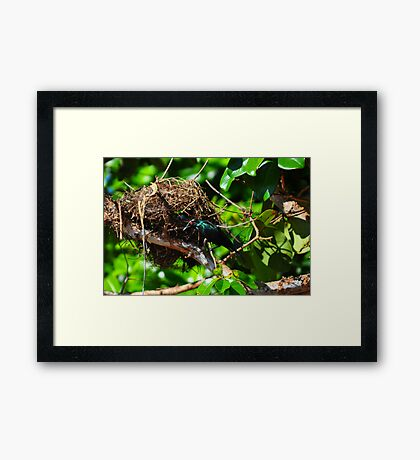 Metallic Starling (Aplonis metallica) Framed Print