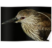 Juvenile Black Crowned Night Heron Poster