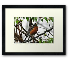 Robin on a wire Framed Print