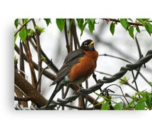 Robin on a wire Canvas Print
