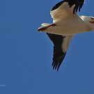 Pelican in Flight, Montana photo Donna Ridgway by Donna Ridgway