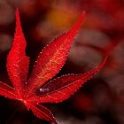 One red leaf by Celeste Mookherjee