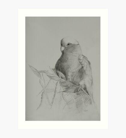 Galah on Acacia Art Print