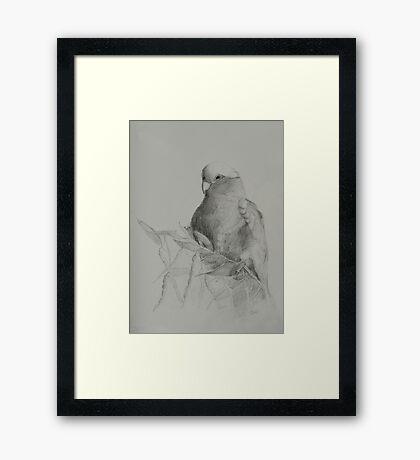 Galah on Acacia Framed Print